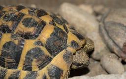 Żółw twarz i skorupa szczegółów makro- strzał zdjęcie royalty free