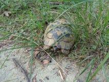 Żółw w lesie obraz stock