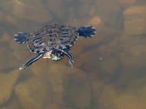 żółw woda Zdjęcia Stock