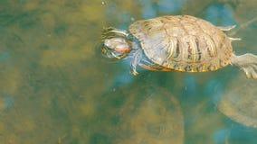 Żółw wtykał jej głowę z wody Żółw w parku w sztucznym stawie zdjęcie wideo