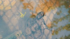 Żółw wtykał jej głowę z wody Żółw w parku w sztucznym stawie zbiory wideo
