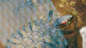 Żółw wtykał jej głowę z wody Żółw w parku w sztucznym stawie zbiory