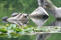 żółwi. Fotografia Stock