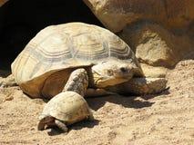 żółwi. Zdjęcie Stock