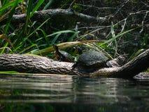 żółwi. Zdjęcia Stock