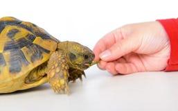 Żółwia łasowania liść Zdjęcia Stock