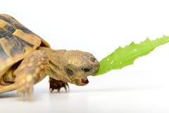 Żółwia łasowania liść Fotografia Stock