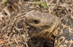Żółwia łasowanie w trawie, Kruger park obraz royalty free