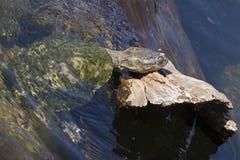 Żółwia ciapania blok zdjęcia royalty free