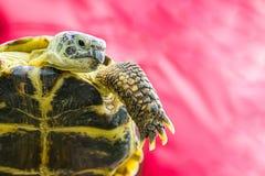 Żółwia kagana agresywny surowy wyrażenie w górę portreta dłudzy pazury na ważącej łapy kopii przestrzeni bazie obrazy stock