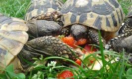 Żółwia zelenavà ¡ Testudo hermanni Obraz Royalty Free