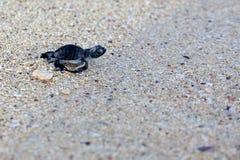 Żółwia zielony Denny Hatchling Fotografia Stock