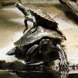 żółwie zdjęcia stock