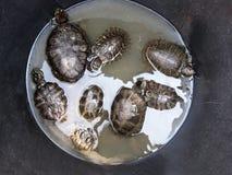 żółwie Obraz Royalty Free