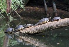 Żółwie sunning na spadać drzewie obrazy stock