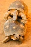 żółwie zabawnych kopulować 2 Zdjęcia Stock
