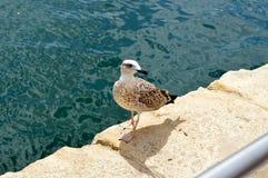 Żądny seagull chodzi zdjęcia stock