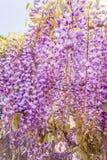 Żałość kwiat Zdjęcie Stock