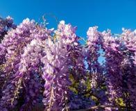 Żałość Kwiatonośny winograd obrazy stock