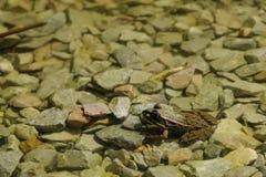 żaba śmieszna Fotografia Royalty Free