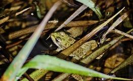 Żaba chuje w płosze obraz stock