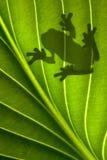 żaba cień Zdjęcia Royalty Free