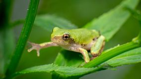 Żaba dosięga wstępnie inna gałąź fotografia stock