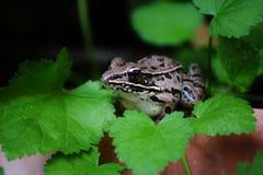 żaba dostrzegająca Obrazy Royalty Free