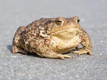 żaba duży kumak Zdjęcia Stock