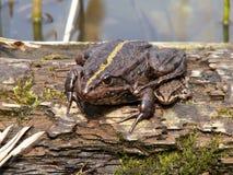 Żaba która siedzi na drzewie, zdjęcia stock