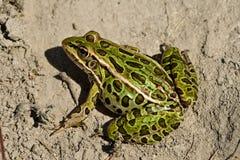 żaba lampart północny Zdjęcie Royalty Free