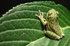 żaba liści, Obrazy Stock