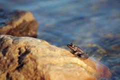 żaba mała fotografia stock