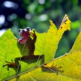 Żaba na liściu zdjęcie stock