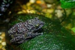 żaba na omszałą Zdjęcia Royalty Free