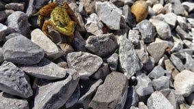Żaba na skałach Obrazy Royalty Free