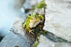 Żaba na skałach blisko stawu Zdjęcia Stock