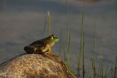 Żaba na skale zamkniętej w górę zdjęcie royalty free