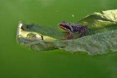 Żaba na zielonym liściu w basenie zamkniętym w górę obraz stock