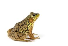 żaba nad white obraz royalty free