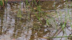Żaba odpoczywa w jeziorze zbiory