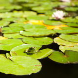 żaba opuszczać lotosowego obsiadanie Fotografia Royalty Free