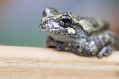 Żaba patrzeje kamerę zdjęcie royalty free