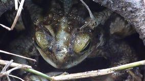Żaba przy podwórko