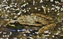 Żaba siedzi i wygrzewa się w słońcu Zdjęcie Stock