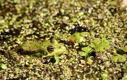 Żaba siedzi i wygrzewa się w słońcu Zdjęcie Royalty Free