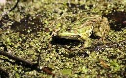 Żaba siedzi i wygrzewa się w słońcu Fotografia Stock