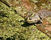 Żaba siedzi i wygrzewa się w słońcu Zdjęcia Royalty Free