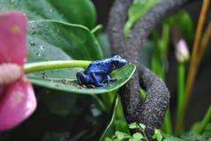 żaba strzałkowaty błękitny jad Obrazy Stock
