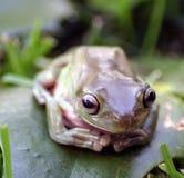 Żaba up zamknięta Fotografia Royalty Free